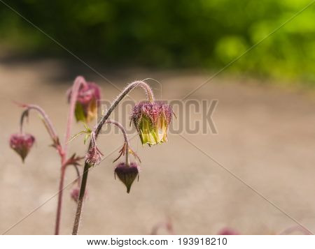 Water avens geum rivale fluffy flowers and buds on stem macro with bokeh background selective focus shallow DOF.