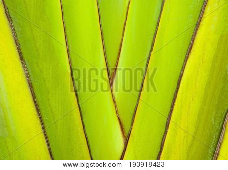 Trunks of banana plants. Abstract tree background. Structure of a decorative banana branch.
