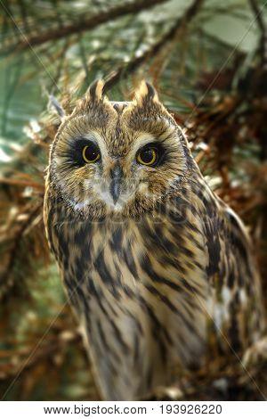 Asio otus - Long eared Owl close up