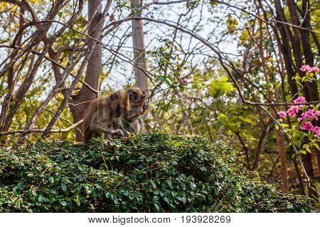 Monkeys sit on branches of bush in Hua Hin, Thailand.