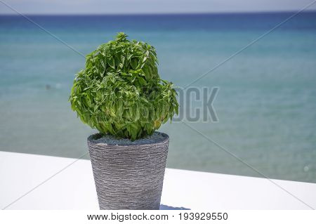 Basil in a pot before blurred beach background. Fresh basil in a flower pot with defocused sea background on a sunny summer day.