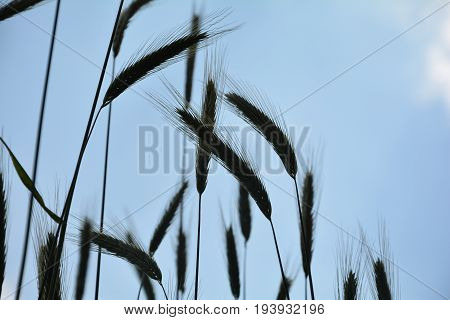 Grain ears against blue sky in silhouette  from underneath