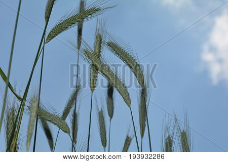 Grain ears against blue sky  from underneath