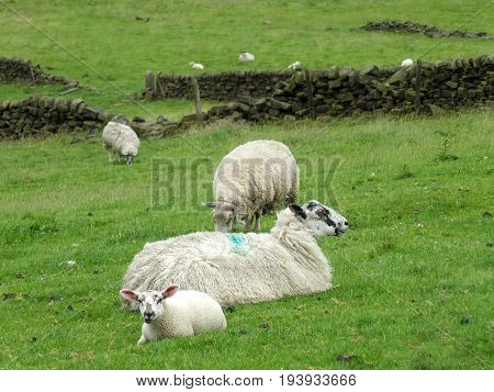 sheep and spring lambs in high pennine land in yorkshire with dry stone walls
