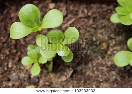 Green portulaca plant in the garden ready to eat