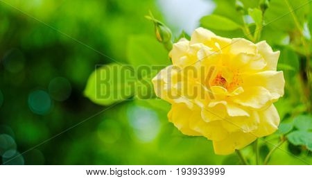 Pink Rose Flower Isolated On White Background With Shallow Depth Of Field And Focus The Centre Of Ro