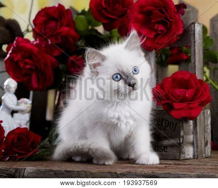 Kitten  breed ragdoll