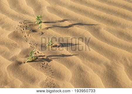 desert plants (Xanthium spinosum), long shadows and traces on sand dunes at summer evening