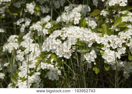 Crataegus monogyna known as common hawthorn or single-seeded hawthorn is a species of hawthorn native to Europe northwest Africa and western Asia