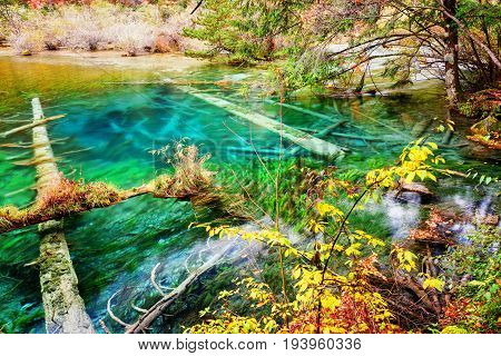 Amazing Azure Lake With Submerged Tree Trunks In Autumn Forest