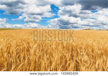 Ripe grain in the field. Harvesting grain on a farm. Landscape in the Czech Republic