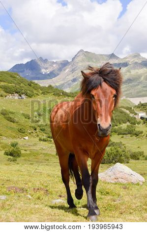 Brown horse trotting in the tyrolean mountains in Austria