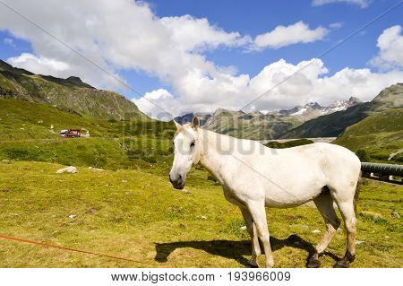 Gray Horse in the Tyrol Mountains in Austria