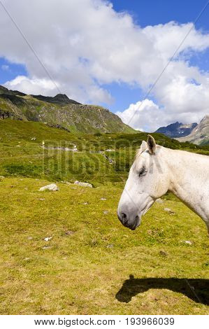 Head of a gray horse in the Tyrolean mountains in Austria