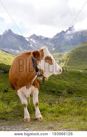 Brown and white cows in the Tyrol mountains in Austria