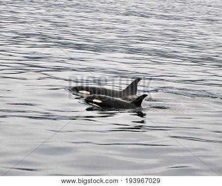 Orcas in Resurrection bay, Kenai Fjords, Alaska