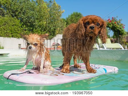 adult chihuahuaand cavalier king charles in swimming pool in summer