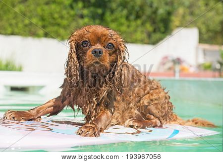 cavalier king charles in a swimming pool