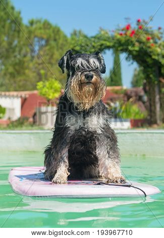 miniature schnauzer floating on a bord in a swimming pool