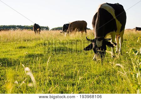 cows grazing on a green pasture, sunset
