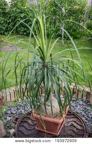 Bokarneya In A Small Pot In The Garden