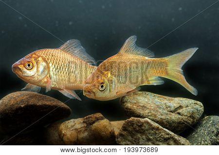 Carassius auratus - Silver crucian carp - close up