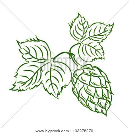 Branch of hops with cones. Brewing. Agriculture.Brewing. Ingredient. Herbal medicine. Alternative medicine.
