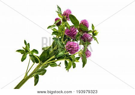 Red Clover (Trifolium pratense) isolated on white background.