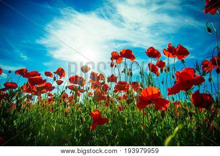 flower field of red poppy seed on green stem on blue sky background summer and spring drug and love intoxication opium