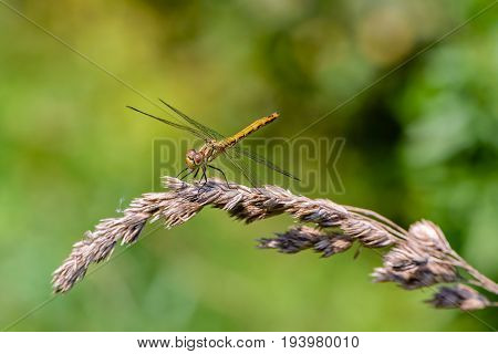 A large yellow dragonfly sympetrum vulgatum sat on a dry blade of grass and spread its mesh wings