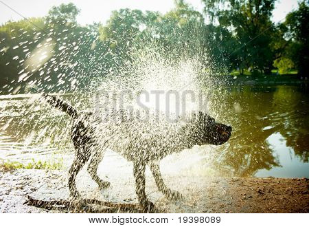 Labrador Shaking Water off its Body,