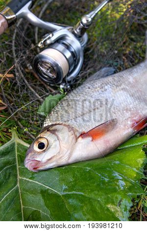 View Of Freshwater Silver Bream Or White Brem Fish On Black Fishing Net And Fishing Rod With Reel. .