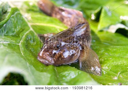Close Up View Of Freshwater Bullhead Fish Or Round Goby Fish Just Taken From The Water On Big Green