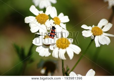 A colorful and black red striped beetle beetle on a daisy xylanthemum.