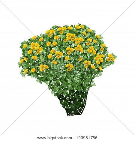 Big bush of a dogrose (Rosa majalis) with terry yellow flowers the color vector image on a white background
