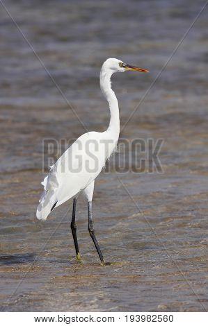 Great Egret (Ardea alba) standing on shoaliness