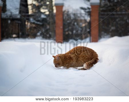 The red cat rummages in a big snowbank
