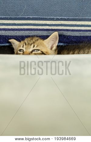 Kitten With Tiger Stripes On Blue Couch