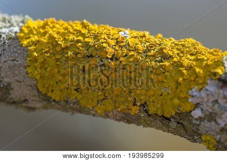 Xanthoria parietina  - lichen close up - detail
