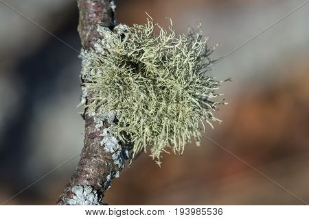 lichen close up - detail - Usnea sp.