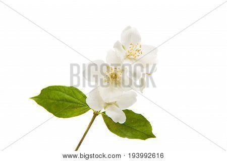 jasmine white flower on a white background