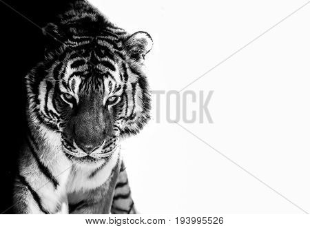 black and white photo edited tiger eyes contact look at camera