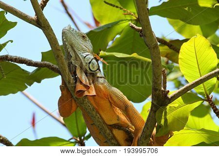 Colorful Iguana or Leguan on a Branch