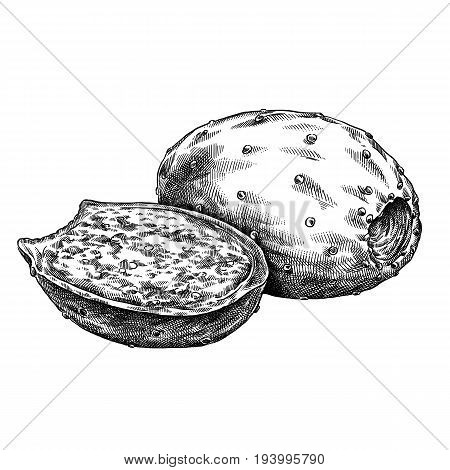 Engraved prickly pear hand drawn graphic illustration art