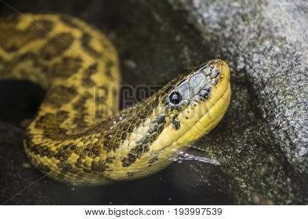 Close up of a yellow Rat Snake in the water