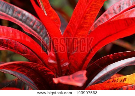 Red and Orange Leaves - Codiaeum - a smal Tree