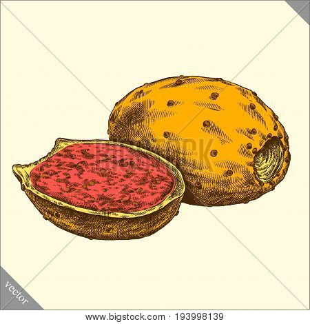 Engrave prickly pear hand drawn graphic vector illustration art