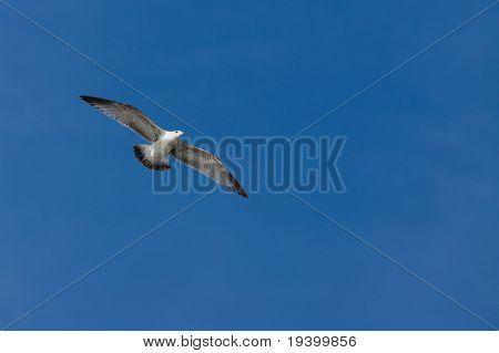 Seagull Coasting