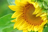 Close up image of sunflower with some green leafs poster