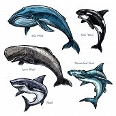 Whales and sharks icons set of blue and killer whale or orca, hammerhead shark and sperm whale or cachalot. Isolated sketch of ocean giant predatory marine animals or mammal fishes poster